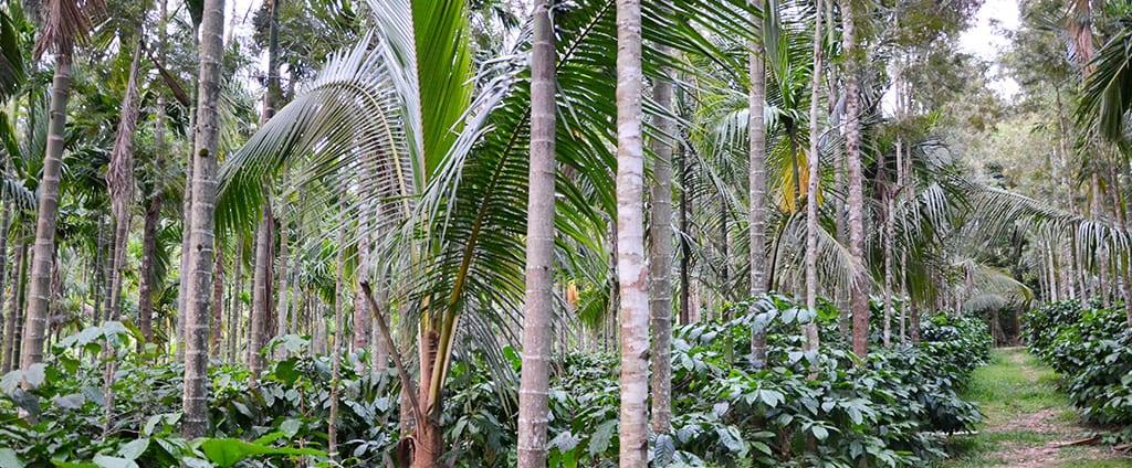הודו יער
