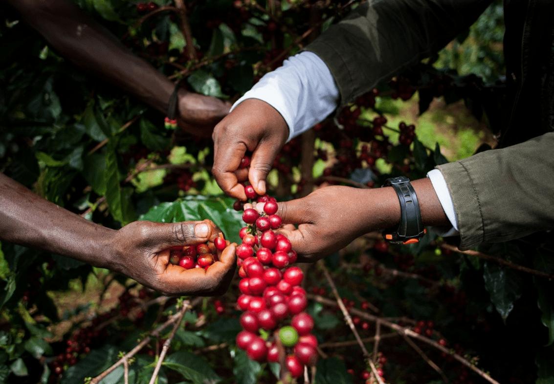 קפה אוגנדי - תרבות קפה מתפתחת
