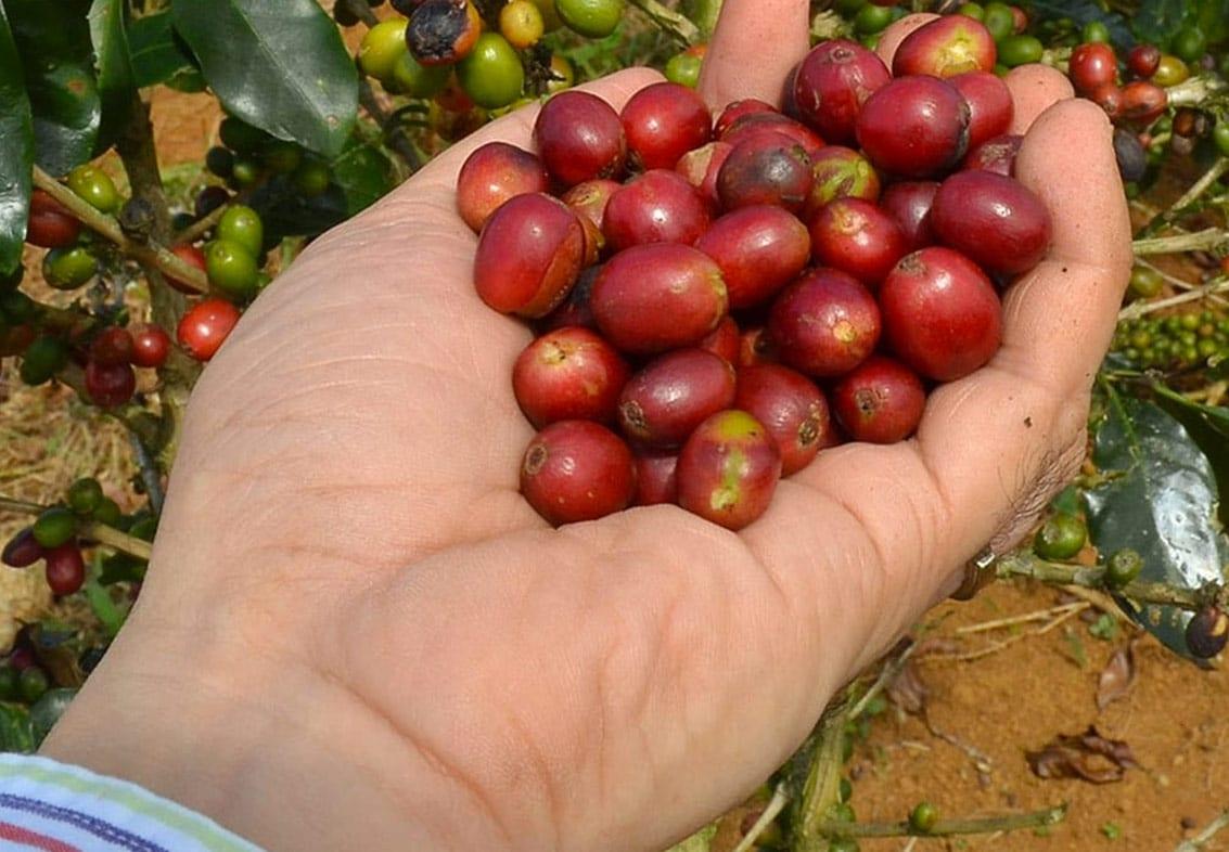 גוואטמלה גידולי קפה